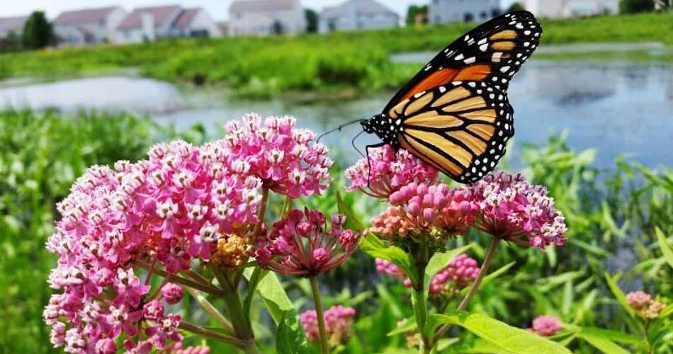 A butterfly on flower blooms in Montgomery Basins near Montgomery, IL.
